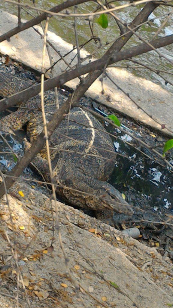 ルンピニー公園のミズオオトカゲ
